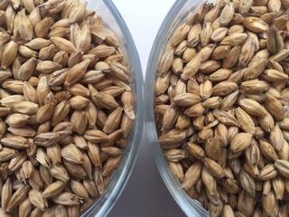 麦芽(左が自家製.jpg